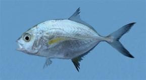 s.africa.fish